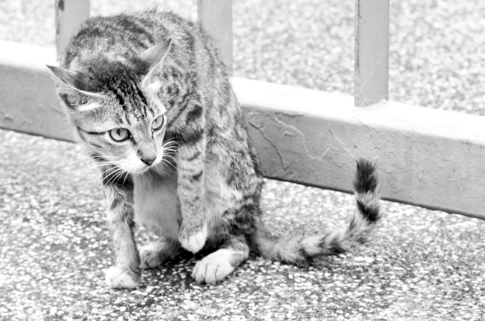 Tai O cat