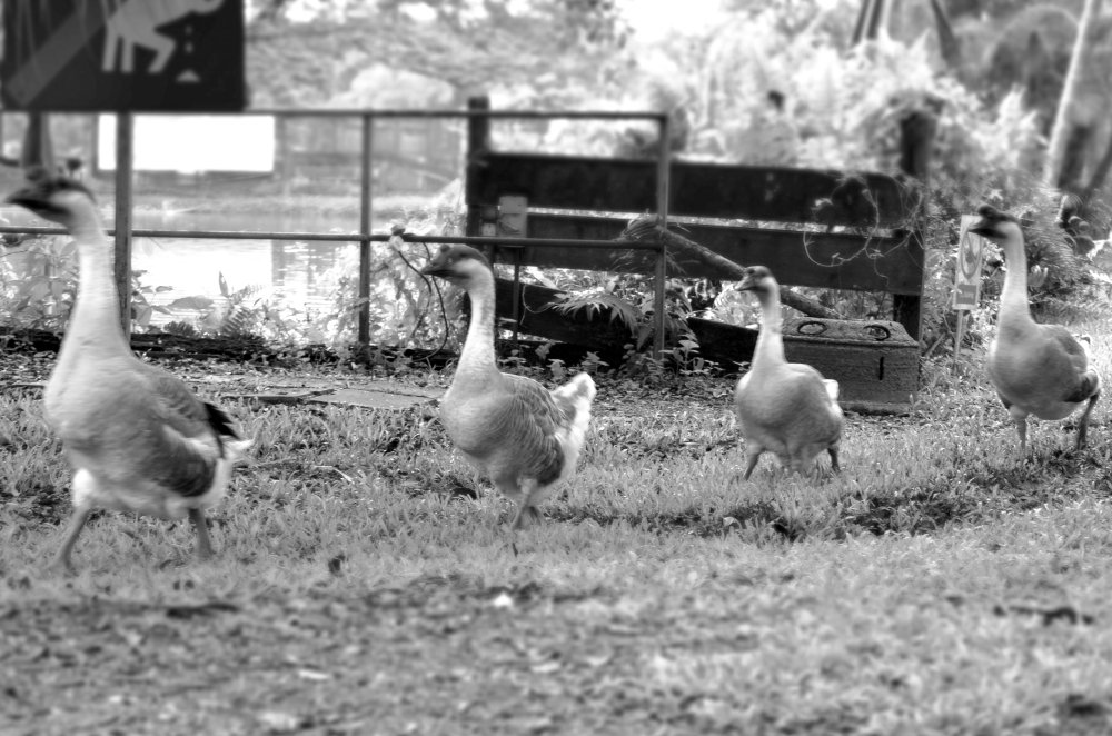 Geese parade