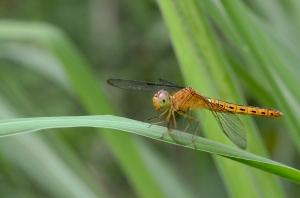 Dragonfly at Jacob Ballas Garden